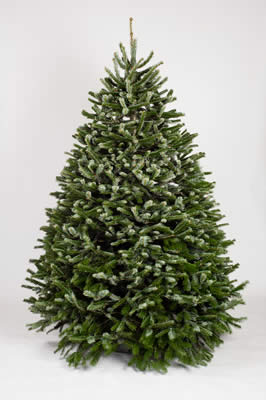 nordmann fir is one of the most important species grown for christmas trees being favored for its attractive foliage with needles that are not sharp and